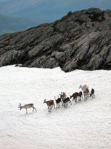 reindeer-2-847199-m
